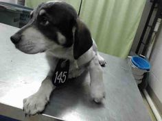 04/29/17-~ local foster needed❗~~SEE VIDEO!!OWNER SURRENDER=NO HOLD TIME REQ'D~~ HOUSTON-EXTREMELY URGENT -ROWAN - ID#a482257 I have a possible adopter. I am a female, tricolor and white Labrador Retriever mix.The shelter staff think I am about 5 months old. I have been at the shelter since Apr 27, 2017. Harris County Public Health and Environmental Services. https://www.facebook.com/harriscountyanimalsheltervolunteers/videos/499931690131076/