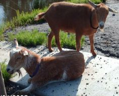 Jeffrey is a Nigerian Dwarf wether whose best friend is his brother, Lenny. Safe Harbor Farm's goats are all outgoing & friendly young adults (3-5 years old). They all get along well, and they've been introduced to lots of dogs & cats. They are...