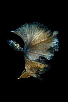 Siamese fighting fish over black background Animal Art Ballet Betta Fish Black Background Colors Creativity Dance Dancer Fashion Fins Fish Freedom Imagine Inspiration Motion Performance Art Pet Pleat Show Siamese Fighting Fish Swimming Tail Underwater Visarute