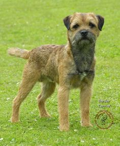 Border Terrier - looks like a dog in my future Border Terrier Puppy, Terrier Dogs, All Breeds Of Dogs, Best Dog Breeds, Pet Dogs, Dogs And Puppies, Doggies, Patterdale Terrier, Dog Grooming Salons