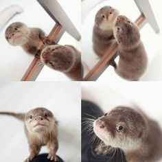 Nothing better than a baby otter! Cute Baby Animals, Animals And Pets, Funny Animals, Wild Animals, Otters Cute, Baby Otters, Animal Pictures, Cute Pictures, Otter Love