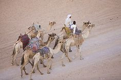 Bedouins and their camels in the Sinai Desert near Dahab in Egypt, North Africa, Africa