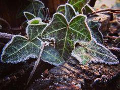 Ivy, Vines, Plant Leaves, Cottage, English, Plants, Cottages, English Language, Flora
