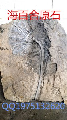 Crinoïdes fossiles pierre(China (Mainland))