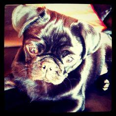 Chilli black pug dog