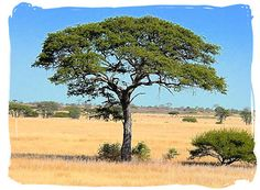 Mokala National Park,...  Camel Thorn tree