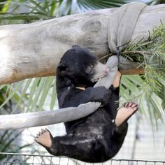 sun bear cub, the least known bear, lives in the tropical forests
