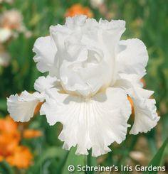 Mr. Moonlight   White Iris