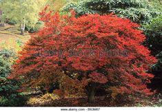 enkianthus campanulatus Autumn, Fall, Garden, Plants, Garten, Fall Season, Fall Season, Lawn And Garden, Gardens