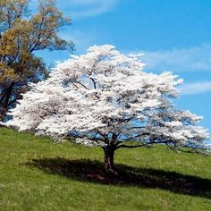 White Dogwood Tree | White Flowering Dogwood Trees for Sale | Fast Growing Trees