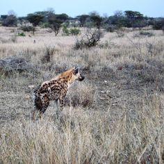 Las hienas del Kruger // Kruger 's hyenas. #krugernationalpark #krugerpark #southafrica #wildlife by elmundodemagec
