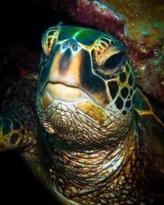 Underwater Photographer Brandi Mueller's Gallery: Hawaii: The Face of Wisdom - DivePhotoGuide.com