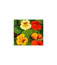 lichorerisnice vetsi pnouci, smes barev, prodej seminek, tropaeolum majus, letnicky Painting, Painting Art, Paintings, Painted Canvas, Drawings