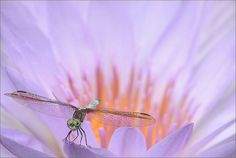 Dragonfly and the waterlily.jpg