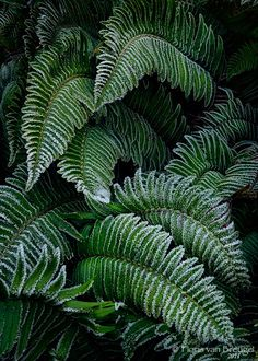 Frosty Fingers Ferns, Olympic National Park, Washington. Photo: Floris Van…