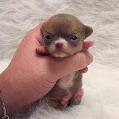The Tiniest Teacup Dogs   PressRoomVIP - Part 13