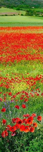Red spring landscape, Spain. Love all the red poppies.