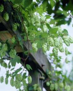 Common Hop • Humulus lupulus • Plants & Flowers • 99Roots.com
