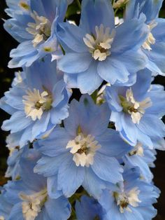 """seconde floraison"" by peltier patrick on Flickr - delphinium"
