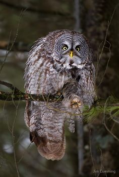 Silence! I keel you! - Great Grey owl von Jim Cumming