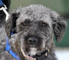 Adopted! Christopher - Poodle mix - 4 yrs old - Second City Canine Rescue - Roselle, IL. - http://www.secondcitycaninerescue.org/adoptable-dogs - https://www.facebook.com/SecondCityCanineRescue - http://www.petango.com/Adopt/Dog-Schnauzer-Miniature-24659955 - https://www.petfinder.com/petdetail/31131897/