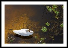 Animal Framed Print featuring the photograph Swan With Sun Reflection On Water. by Jan Brons. Swan with sun reflection on water.     This has been a real challenge to take this photo of these swans as I had to find a high point to shoot downwards
