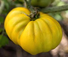 Tomato 'Goldie'. A big, yellow heirloom beefsteak-type tomato with fruits that can reach a pound, 'Goldie' features a sweet flavor and ripens about 90 days from transplanting. It's an indeterminate variety.
