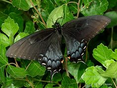 Photographs from Nature - Butterfly Gallery  Eastern Tiger Swallowtail, Papilio glaucus, dark form female, Skunk's Misery, Ontario   Photographs Jay Cossey