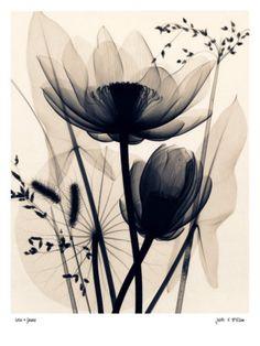 Lotus and Grasses Prints by Judith Mcmillan at AllPosters.com