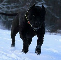 This pretty puppy golden retriever will bring you joy. Dogs are incredible companions. Chien Cane Corso, Cane Corso Dog, Black Cane Corso, Big Dogs, Cute Dogs, Dogs And Puppies, Bully Pitbull, Pitbull Terrier, All Black Pitbull