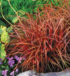 Specializing in rare and unusual annual and perennial plants, including cottage garden heirlooms and hard to find California native wildflowers. Ornamental Grasses For Shade, Perennial Grasses, Perennials, Red Grass, Shade Grass, Outdoor Plants, Outdoor Gardens, Small Gardens, Shade Garden