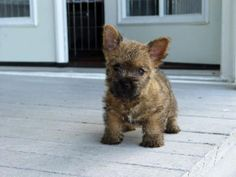 Norwich Terrier puppy on the porch. Akc Breeds, Terrier Dog Breeds, Cairn Terriers, Norwich Terrier Puppy, White Terrier, Terrier Mix, Chihuahua Dogs, Puppies, Shelter Dogs