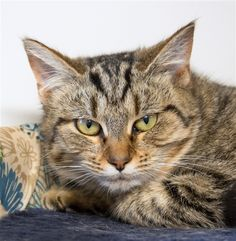 Sarah is a 6 mo. old female DSH available at Woods Humane Society, San Luis Obispo,CA.