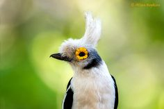 White-crested Helmet-shrike (Prionops plumatus) by Allan Hopkins.