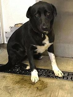 9/4/17 - Border Collie Mix Dog for adoption in Highland, Illinois - Cassie of Indiana
