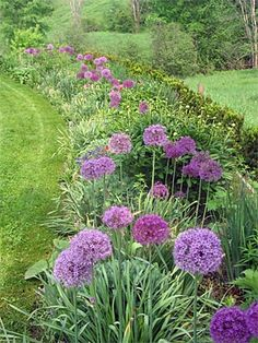 Alliums To repel the rodents. :) front-yard-landscaping | Like the idea of putting along the front and side ditches!