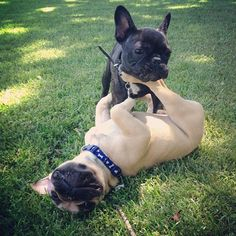 Frenchies playing