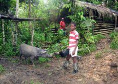 Cerdo criollo del Pacífico colombiano, al borde de la extinción.