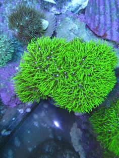 Pachyclavularia violacea  green star polypGreen Star Polyp Frag The Coral Dudes The Green Star Polyp is a  . Green Star Polyp Lighting Requirements. Home Design Ideas