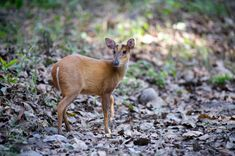 Muntjac Deer What is it? A very small deer. Where is it from? Southeast Asia. Where is it legal to own? Again, it varies, but due to its small size, many states make allowances.