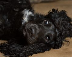 English Cocker Spaniel Pup ~ Classic Look Blue Roan Cocker Spaniel, American Cocker Spaniel, Cocker Spaniel Puppies, English Cocker Spaniel, Cute Funny Animals, Cute Dogs, Working Cocker, Cockerspaniel, Cat Breeds
