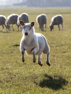 A happy lamb jumps in a field near Berkel en Rodenrijs, the Netherlands, on March Due to the nice spring weather the sheep were released from their barn earlier than usual. Farm Animals, Funny Animals, Cute Animals, Animal Fun, Alpacas, Spring Lambs, Animal Tracks, Sheep And Lamb, Counting Sheep