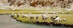 Grazing Cashmere Goats Cashmere Pashmina, Cashmere Wool, Soft Hair, Alpaca Wool, Farming, Goats, Lifestyle, Wool, World