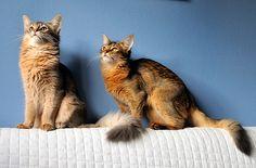 Doris og Gaia - Somali cats