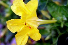 Periquito amarillo III