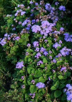 Ageratum houstonianum - perfect summer planting in qld