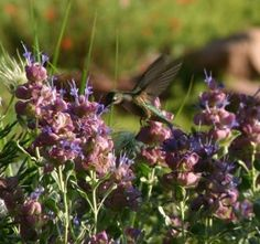Female hummingbird drinks on the wing from Mojave sage (Salvia pachyphilla) flowers. Photo credit: Pat Hayward for Plant Select®