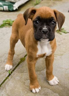 Fawn Boxer puppy...adorable