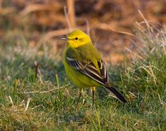 Taken at Sutton Common Suffolk UK Yellow Wagtail, Birds, Animals, Animales, Animaux, Bird, Animal, Animais