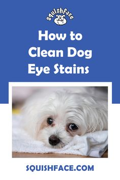 If you struggle with how to clean eye stains on dogs, this is the post for you! Learn the tricks for easy dog tear stain removal, including white dog eye stains, for great Pomeranian eye care, Poodle eye care, Shih Tzu care, and say goodbye to long hair dog grooming dilemmas. If you do your dog grooming at home or are a professional dog groomer, this is a must read to learn dog tear stain remedies for a clean dog face. | Squishface Dog Care Products Tear Stain Removal, Dog Tear Stains, English Bulldog Care, Wrinkly Dog, Dog Grooming Tips, Dog Cleaning, Dog Health Care, Dog Eyes, Dog Care Tips
